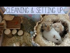 Cleaning & Setting up the Gerbils Cage Hamster Habitat, Hamster Care, Guinea Pig Care, Guinea Pigs, Gerbil Cages, Hamster House, Degu, Rabbit Cages, Animal Science