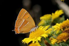 Butterflies of Europe - © Adrian Hoskins   THECLA BETULAE -  There are over 440 species of butterfly found in mainland Europe, including 57 which have resident populations in the UK.
