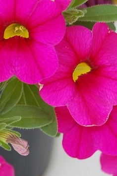 Petunia  'Million Bells Bouquet Brilliant Pink', Calibrachoa