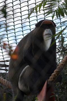 A De Brazzas monkey hanging out at the Rio Grande Zoo, Albuquerque New Mexico, USA