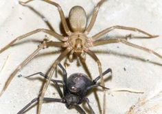 The Brown Recluse is as bad as the Black Widow. Its bite can cause serious problems. Common in Calif.
