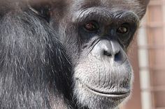 TO KNOW SOMEONE : After decades as faceless lab subjects, treated as little more than the ID numbers tattooed on their chests, the Cle Elum Seven chimpanzees are finally known as distinct and unique individuals. with distinct and unique personalities. Here's sweet, gentle, nervous, brave, grass-loving, foot-clapping ANNIE, unknown and unappreciated for so long. Loved by many now!