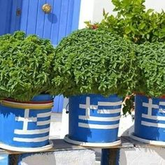 Vasilikos (Basil) in Greek Flag pots-Can you get any more Greek? French Riviera Style, Seychelles Beach, Greek Decor, Macedonian Food, Greece Pictures, Greek Flag, Crete Island, Alexander The Great, Most Beautiful Beaches