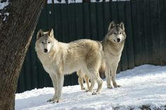 Lobo de Alaska  Con un aspecto muy parecido a un Husky, el lobo ártico (Canis lupus arctos) es un animal sorprendente que habita principal...