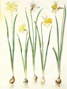 Hans Simon Holtzbecker, Narcissus, 1649-1659. Gouache on vellum, in Gottorfer Codex. Germany. Via wiki.