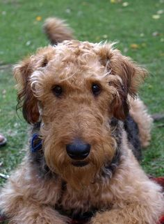 Airedale, Tilly Welsh Terrier, Airedale Terrier, Fox Terrier, All Dogs, I Love Dogs, Best Dogs, Cute Puppies, Cute Dogs, D Is For Dog