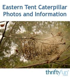 Eastern Tent Caterpillar Photos and Information Plant Diseases, Nests, Cool Photos, Trees, Leaves, Sign, Pest Control, Garden, Garten
