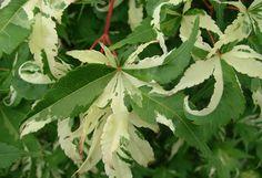 Acer palmatum Oridono nishiki- pink coloration fades reavealing creamy white/green variegation.