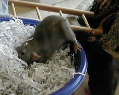 Homemade Toys for rats, shredded paper Hamster Toys, Guinea Pig Toys, Diy Rat Toys, Pet Toys, Baby Toys, Rat Care, Les Rats, Dumbo Rat, Fancy Rat