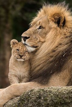 How awesome do you feel when your dad is the lion king.nobody's got nothing on you. How awesome do you feel when your dad is the lion king.nobody's got nothin. Bettina Löwe How awesome do you feel when your dad is the lion Lion Images, Lion Pictures, Images Of Lions, Huge Cat, Big Cats, Beautiful Lion, Animals Beautiful, Image Lion, Cute Baby Animals