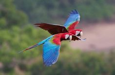 Green-Winged Macaw Pair In Flight.