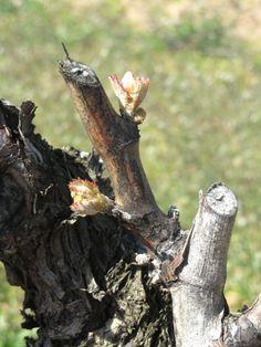 La poda en Muga  //          Cada pulgar tiene dos protuberancias a cada lado, una más arriba que la otra, llamadas yemas. En primavera, estas yemas darán lugar a nuevos sarmientos.  Each thumb has two protuberances on each side, called buds. In spring, new vine shoots will shoot from them.