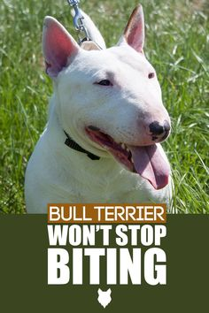 We here at Fenrir Canine Leaders are excited to help you become the best Canine Leader you can be. One big issue that pups need training in is biting. Let's dive into all the things you need to know to have a well behaved Bull Terrier. Terrier Dog Breeds, Bull Terrier Dog, Best Dog Breeds, Best Dogs, Dog Breed Info, Miniature Bull Terrier, The Perfect Dog, Getting A Puppy, Dog Fighting