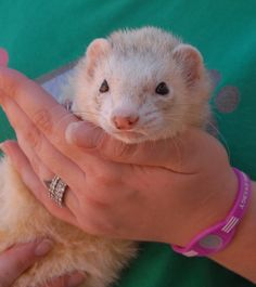 Dean is an exceptionally friendly boy who enjoys sitting on your shoulders and he also loves to bond with cats.  He is a handsome, champagne ferret, neutered, 6 years of age, debuting for adoption today at Nevada SPCA (www.nevadaspca.org).  Dean is litter box trained too.  He needed us because his previous owners said they were allergic to him.