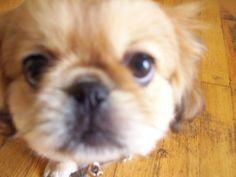 Pekingese Pup