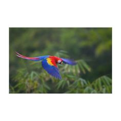 Colorful scarlet macaw, Costa Rica Canvas Prints by National Geographic