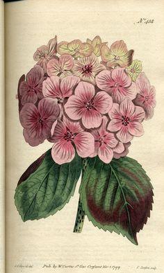 Botanical - Pink Hydrangea - Edwards, Sydenham, 1769-1819