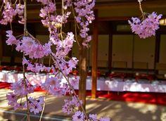 Full bloomed Sakura at Taizoin.  http://www.taizoin.com/