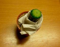 Pie de injerto listo para recibir el injerto Mini Cactus, Cactus Y Suculentas, Succulents, Mexican, Ethnic Recipes, Plants, Grande, Food, Cacti