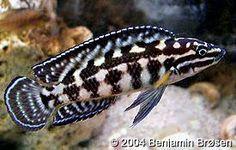 "Julidochromis ""Marlieri"" (Burundi) (Pair) 2.5"" December 8, 2013"