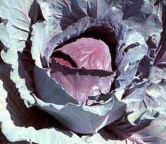 Rode kool (Brassica oleracea convar. capitata var. rubra )