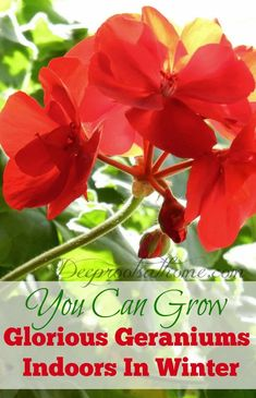 Indoor Container Gardening You Can Have Glorious Geraniums At Your Window In Winter. Hydroponic Gardening, Organic Gardening, Container Gardening, Indoor Gardening, Flower Gardening, Flowers Garden, Growing Winter Vegetables, Red Geraniums, Deep