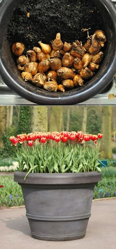 How to Grow Tulips in a Pot A dear friend used to grow tulips in a wooden half barrel, salmon colored.  Beautiful!