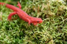 Daniel Boone National Forest and Orange Salamander