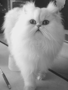 So fluffy #persian #