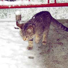 ... old photo of a young Mollycat having her first encounter with snow. #coldfeet #winteriscoming #dilemma #weather #snow #firstsnow #firstencounter #instalike #instacat #cat #kitten #young #cold #snö #lumi #finland #catsofinstagram #catsofworld #cats #mollycat #mollycatfinland #kitty #pets #catlover #firststeps #steppingout #winter