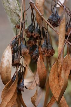 Ironbark  spent flower heads.  Tony Pepper ironbark seedpods Eucalypt seedpods