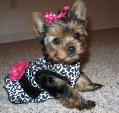 Adorable tea cup yorkie poo.