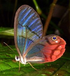 translucent winged butterfly