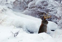 Petition seeks return of Yellowstone jackalope to public lands around parks!  (note the date...)