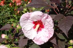 What's not to like about Summerific 'Perfect Storm' hibiscus? It's cold-hardy…