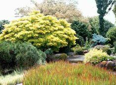 Japanese Maple & other moisture-loving plants