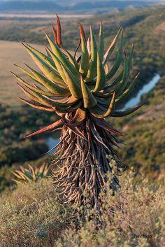 The Aloe African Plants, Strange Flowers, South African Art, Desert Flowers, Plant Painting, Explore Travel, Succulent Pots, Landscape Art, Trees To Plant