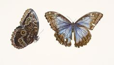 Butterfly Painting - Blue Morpho Butterfly by Rachel Pedder-Smith