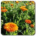 Maayan Calendula, high mowing seeds