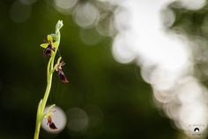Ophrys insectifera by NICOLAS BOHERE on 500px