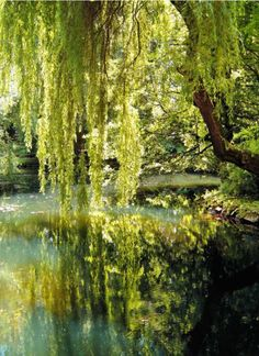 Weeping Willow tree analogies run the gamut from waterfalls to fountains, Rapunzel's hair to legs of a dancer. Categorized as one of the most easily recognized trees on the planet, the Weeping Willow is an icon among its deciduous cousins. The tree's long, sweeping branches and foliage add beauty and grace to any landscape.