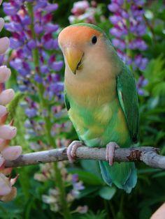 Peach faced Lovebird Bailey by sylvia1sam, via Flickr