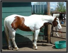 bay tovero - Paint Horse stallion Poco Diego