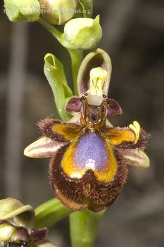 Ophrys speculum L.