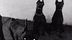 The Doberman Pinscher is among the most popular breed of dogs in the world. Known for its intelligence and loyalty, the Pinscher is both a police- favorite Doberman Pinscher, Doberman Dogs, Dobermans, Animals And Pets, Cute Animals, My Demons, Puppy Care, Hades, Character Aesthetic
