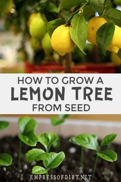 Grow a Lemon Tree From Seed Use this easy method to grow seeds from a grocery store lemon into your own lemon houseplant. Growing Lemons From Seeds, Growing Seeds, Kumquat Tree, Citrus Trees, Lime Trees, Growing Lemon Trees, Growing Tree, Lemon Tree From Seed, Lemon Plant From Seeds
