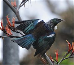 The Tui bird (Prosthemadera novaeseelandiae) Endemic bird of New Zealand. Little Birds, Love Birds, Beautiful Birds, Animals Beautiful, Exotic Birds, Colorful Birds, New Zealand Wildlife, Tui Bird, Animals And Pets