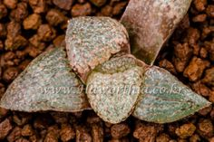 Haworthia picta Seeding Crystal Dot plant not bonsai ariocarpus agave cactus