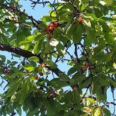 Vårt bigaråträd har många år på nacken och skörden är inte särskilt stor men smaken på bären är det inget fel på  #bigarå #bär #odla #trädgård #mygarden #wexthuset #flowers #hage #hemodlat #blommor #minträdgård