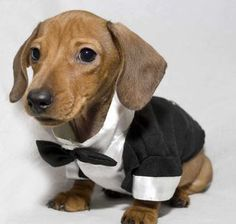 Frankie. Now I don't like digs in clothes.  Really! But dachshunds really look GOOD in clothes! !!